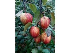 早酥红梨种植前景供应嫁接苗早酥红梨批发