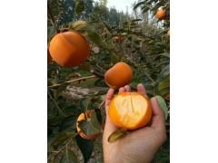 甜脆柿优质嫁接苗大量栽培出售