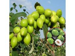 大青枣的种植前景