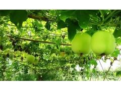 香芋冬瓜种子批发香芋冬瓜的营养