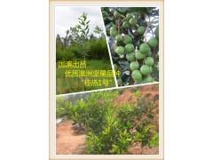 优质澳洲坚果夏威夷果种苗品种桂热1号 供应销售零售价格