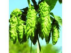 批发供应食品级增味剂啤酒花99%