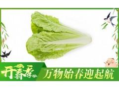 杭白菜-有机蔬菜