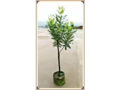 广西国澳坚果公司澳洲坚果树大苗标准和供应价格