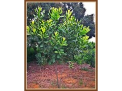 广西国澳坚果公司一年生坚果树小树标准及供应销售价格