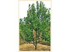 二年生澳洲坚果树供应价格和标准由广西国澳坚果公司发布380元