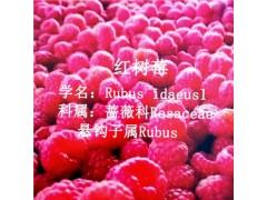树莓水果供应