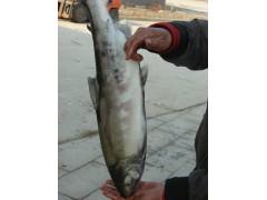 俄罗斯进口马哈鱼批发市场,俄罗斯进口马哈鱼批发价格